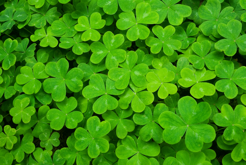 shamrock-clovers